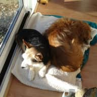 Pet/house sitter wanted for 2 elderly jack russells