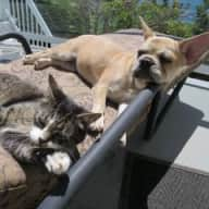 Friendly Frenchie and Charlie the cat want a great sitter to stay in their oceanfront suite