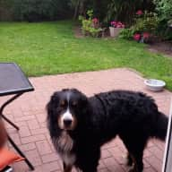 pet sitter needed for my bernese mountain dog. One long weekend and the 3 weeks long