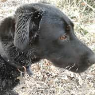 Pet sitter needed for 5 year old lab in W Sussex