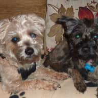 House & pet sitter needed on Suffolk / Essex border to care for two delightful little dogs