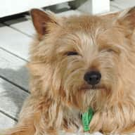 A little company needed for my lovely Norwich Terrier & Abyssinian Cat!