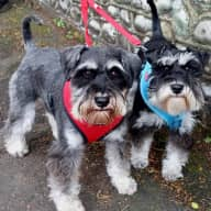 Pet Sitter needed in Worthing, UK  for  2 Miniature Schnauzers -