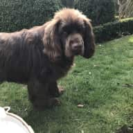 Care for my one year old Sussex spaniel Cosmo