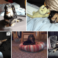 House sit with 15yo long hair male miniature dachshund - Inner West Sydney 4 August to 7 August 2018