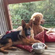 I need a dog sitter who enjoys and is used to German Shepherds and big dogs. Hope to find you!