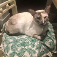 Pet sitter for Siamese cat in old farmhouse, North Buckinghamshire Nr Milton Keynes 2 weeks from 22nd June