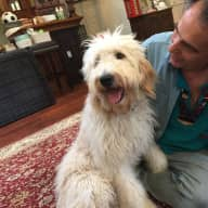 July 25 - August 25 - House and pet sitting for Totally friendly 19 month old Golden Doodle in Somerville, Mass