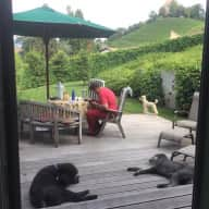 Standard Poodles in Switzerland for Christmas