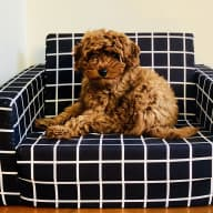 Sitter needed for a cute as cavoodle puppy