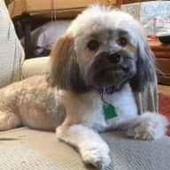 Someone to housesit with a Shih Tzu mix