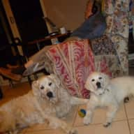 """Loving pet sitters needed for our two """"Goldies"""" Saxon and Cosmos In  Kardinya WA"""