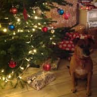 Loving dog sitter required for Christmas in London