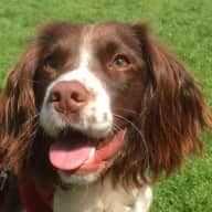 Springer Spaniel House Sit