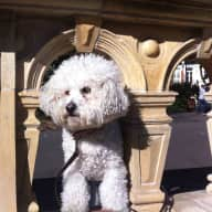 Victorian terrace in Fulham, London with lovely little Bichon Frise called George!