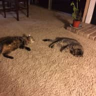 Christmas sitter needed for two cats in central Austin apartment