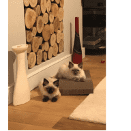 Christmas sit with two gorgeous ragdolls at a lovely flat in Angel/Highbury & Islington