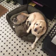 Pet loving house sitters wanted to look after adorable Labrador and Siamese in Clapham.