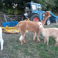 A week helping  with Alpacas