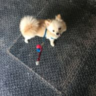 House and pet sitting needed in Hang Dong, Chiang Mai, for our little Pomeranian.