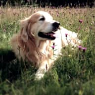 Petsitter needed for our Golden Retriever in Surrey for 10 days in April 2019