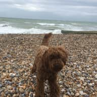 Pet sitter for Nellie the labradoodle in a large but cosy Victorian house by the sea in Hove