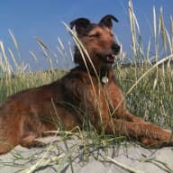 Pet/home sitter need for our old lady lurcher/terrier cross in rural cottage just south of M25