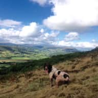 English Springer Spaniel - House Sitter Required in the South Wales Valleys!!