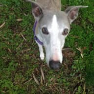 House & Pet sitter for 13 yr old Whippet & Small parrot (Green cheek conure) & Pygmy bearded dragon, 27th August- 3 September 2018