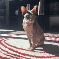 Take care of my beautiful, loving Sphynx Charlie while enjoying all Portland has to offer