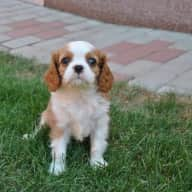 Local/Part time - dog walking - adorable little Cavalier King Charle's Spaniel puppy