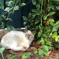 2 Ragdolls looking for lovely company in Croydon, Victoria, Australia!
