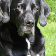 URGENT!!!Christmas Dogsitter for a elderly lab-Mix in Four Marks,Hampshire