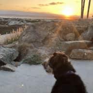 Mini Aussie by the beach!