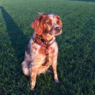 Dog Sitter for lovely Spaniel in South London