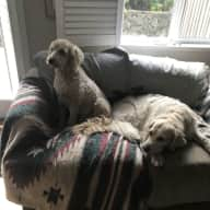 Reliable house sitter for two friendly loveable dogs