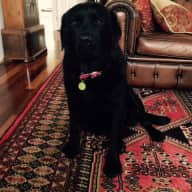 Beautiful Labrador and 6 Gorgeous Chooks