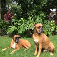 Pet sitter needed for two friendly seven-year-old boxers in Hawaii