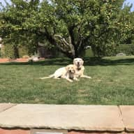 Looking for a sitter from 14/12/18 - 19/12/18 for two Labrador dogs. One 10 years old and one nearly 9 months