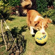 Gorgeous collie in Dublin needs a sitter