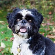 Pet sitter needed for my shih tzu, Monty, for just over 2 weeks end of March 2016