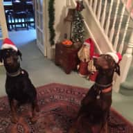 Regular house sitter for 2 rescue Dobermanns required March- Oct
