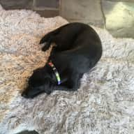 House and Labrador sitter wanted for several occasions.