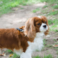 We have a sweet Cavalier King Charles Spaniel who needs a companion while we are away.