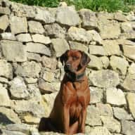 Dogsitter for Ridgeback and Boxer over Christmas in Grasse