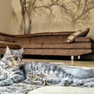 Lydia's Maine Coon Cats in Kenya