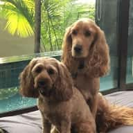 Dog & house sitter needed in Novena, Singapore