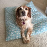 House Sitter needed for elderly Brittany spaniel