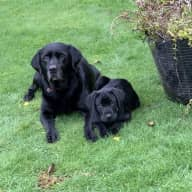 Looking for a reliable and honest house sitter for two lovely Dogs.