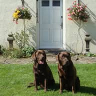 House sitter needed for two  chocolate Labradors and a   Palomino Pony. Expert Help with the pony can be provided.